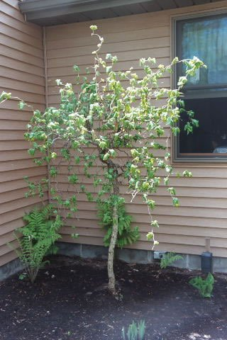 50 Devil's Walkingstick Tree Seeds, Aralia Spinosa