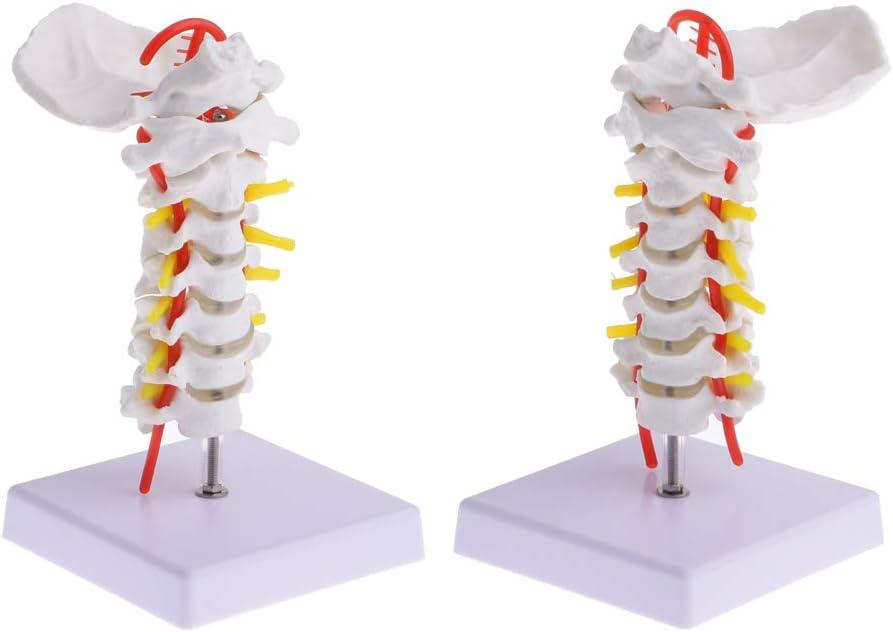 CUTICATE Paquete De 2 Modelos De Esqueleto De Vértebra Cervical Humana, con Arteria Carótida Flexible, Herramientas De Enseñanza Médica