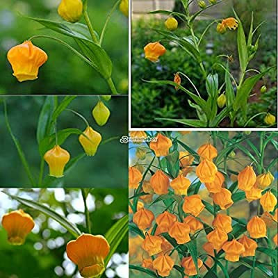50 pcs Lily Palace Lantern Seeds Rare Flower Garden Plant Balcony