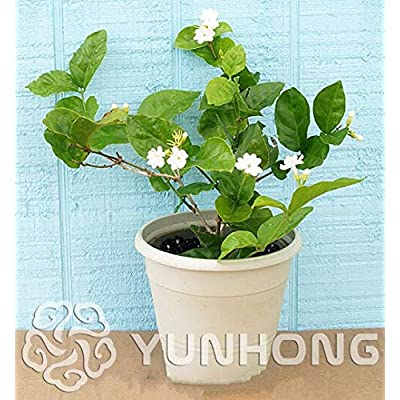 JasmineFlower Bonsai 20 pcs/Pack White Jasmine Plant, Fragrant Plant Arabian Jasmine Bonsai: Garden & Outdoor