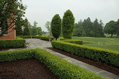 Winter Gem Boxwood Qty 15 Live Plants Evergreen Formal Hedge by Florida Foliage (Image #2)