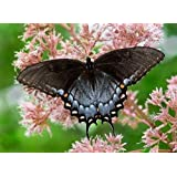 Buy 2 get one free ORGANIC JOE PYE WEED EUPATORIUM 25+seeds Perennial Save the Monarch ON SALE!