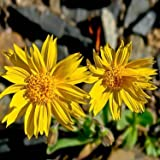 Outsidepride Arnica Montana Flower Seed - 200 Seeds