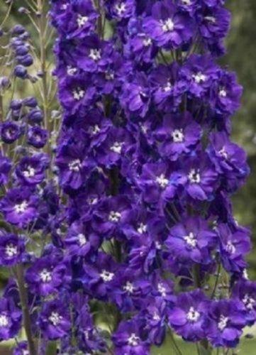 King Arthur Delphinium Royal Purple w// White Bee// Perennial Flower Seeds 25