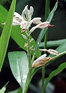 Tropica - Cardamón Hierbas (Elettaria cardamomum) - 20 Semillas