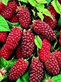Tayberry 10 Seeds -Delicious Cross Between a Raspberry and a BlackBerry