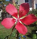 Texas Star hardy hibiscus, Hibiscus coccineus, rose mallow, 20 seeds