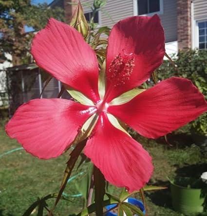 Amazoncom Texas Star Hardy Hibiscus Hibiscus Coccineus Rose