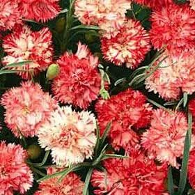 Dianthus caryophyllus Orange Ripple 1,000 seeds