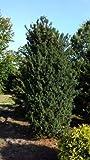 Becher Eibe Taxus media Hicksii 40 - 50 cm hoch mit Ballen