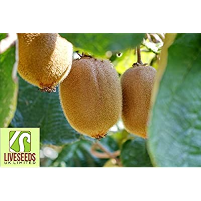 Liveseeds -Kiwi Seeds, New Zealand Kiwi Fruit Seeds, Fresh Live - 20 Seeds : Garden & Outdoor