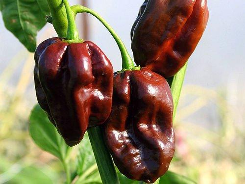 30+ ORGANICALLY GROWN Chocolate Habanero Congo Pepper Seeds Heirloom NON-GMO