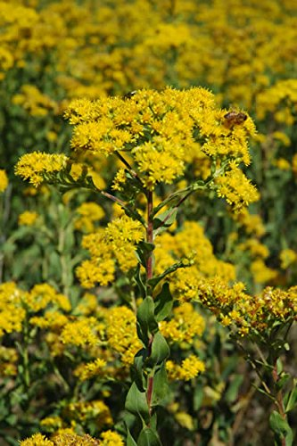 Common Goldenrod - 3 Plants - Plant Delights Nursery