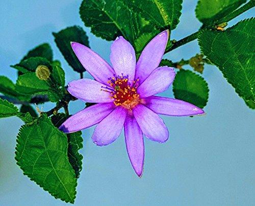 Lavender Star Flower Bonsai Starters 3