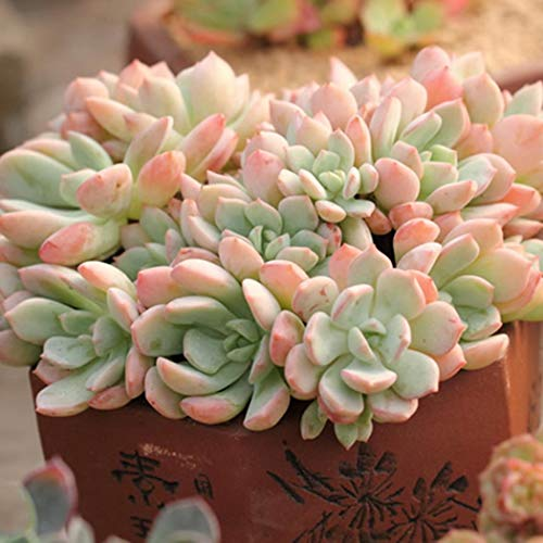 Mickee 100 PCS Bonsai Succulents Seeds, Nice Adorable Flower Fragrant Blooms Succulents Jeweled Flower Seeds (1)