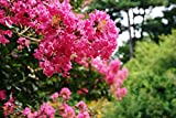 Home Comforts Peel-n-Stick Poster of Lagerstroemia Indica Crape Myrtle Trees Poster 24x16 Adhesive Sticker Poster Print