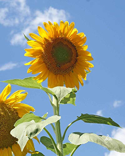 (David's Garden Seeds Sunflower Mammoth Grey Stripe UT5193 (Yellow) 50 Non-GMO, Heirloom Seeds)