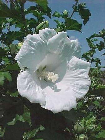 Amazoncom Rose Of Sharon White Diana Hibiscus Syriacus 20