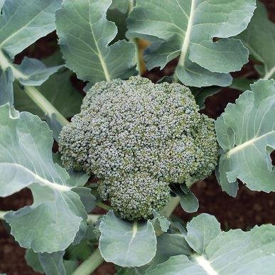 blue wind broccoli