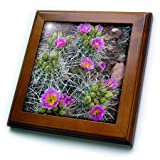 3dRose Danita Delimont - Cactus - Usa, Utah, Arches NP. Whipples Fishhook Cactus blooming and with buds. - 8x8 Framed Tile (ft_260304_1)