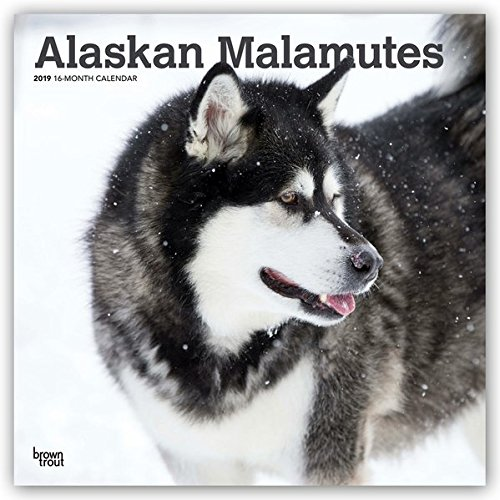 Alaskan Malamutes 2019 12 x 12 Inch Monthly Square Wall Calendar, Animals Dog Breeds