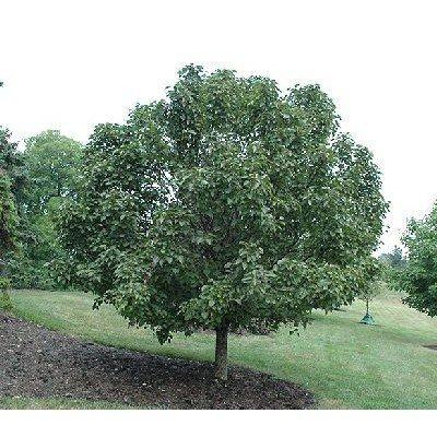 Birchleaf Pear Tree 15 Seeds (Pyrus betulifolia)