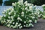 Fresh Cuttings More Trees and Shrubs PeeGee Hydrangea Get 10#ADN01YN