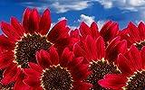 RED SUNFLOWERS Seeds (Helianthus annuus) Heirloom Organic , Annual,Flowers