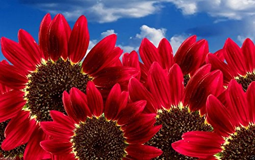 RED SUNFLOWERS Seeds (Helianthus annuus) Heirloom Organic , Annual,Flowers (Plants That Flower In April)