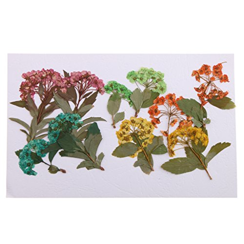 Arranging Daffodils - Fityle 10 Pieces Real Pressed Dried Flowers Daffodil Narcissus for DIY Floral Art Craft