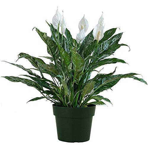 AMERICAN PLANT EXCHANGE Variegated Spathiphyllum Domino Peace Lily Live Plant, 6