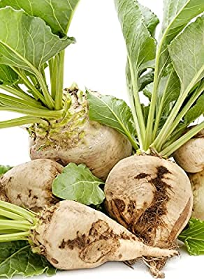 50+ ORGANICALLY GROWN Sugar Beet Seeds, Heirloom NON-GMO, Beta vulgaris, Sweet, White, Cold Tolerant, Delicious, Great for Northern Areas. From USA