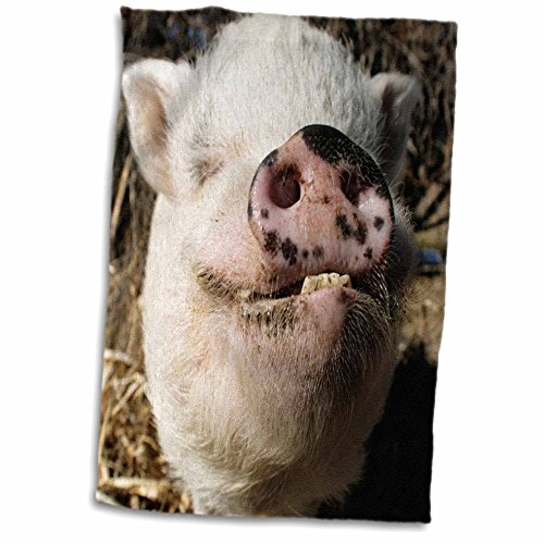 3D Rose Pet Pot Bellied Pig - Farm Animal - New Mexico - Us32 Jmr0497 - Julien McRoberts Hand/Sports Towel, 15 x 22 by 3dRose