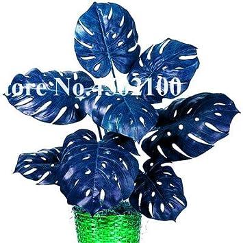 Bloom Green Co. 50 piezas de palmera mezclada Hojas de tortuga Bonsai, Monstera Semillas en maceta Bonsai, Monstera Ceriman, Flor rara Perenne Mixta: 17