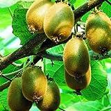 HARDY KIWI FRUIT Plant - Edible Fruit Vine Actinidia deliciosa Matua Male