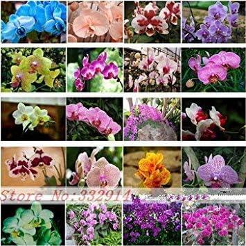 Vistaric 24 Tipos de Semillas de Orquídeas Phalaenopsis Perennes 100 unids Raras Raras Semillas Fower de Mariposas Jardín Hogar y Jardín Flores Plantas de interior: Amazon.es: Jardín