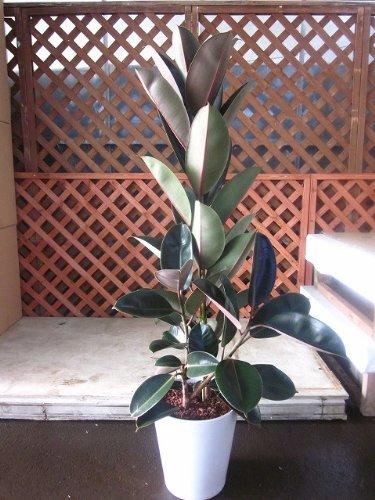 フィカスバーガンディ 陶器鉢植え 黒ゴム 観葉植物 ゴムの木 B00B7CJU2E