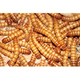 BASSETT'S CRICKET RANCH 1000 Live Mealworms