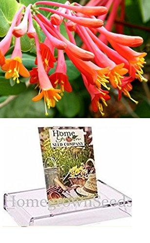 (Homegrown Packet Honeysuckle Seeds, 80 Seeds, Scarlet Trumpet)