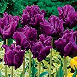 Tulips (2 Bulbs) Tulipa Triumph Size 10~14 cm Fall Planting and Spring Blooms (Dark Purple)
