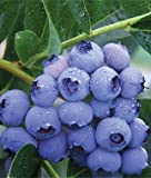 1 Patriot Blueberry Plant - 2 Year All Natural Grown - Spring Planting