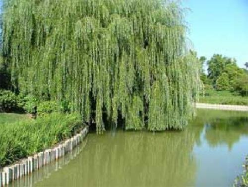 SS0144 2 Weeping Willow Trees Live Plants Indoor Outdoor Bonsai Plant Garden Home NEW