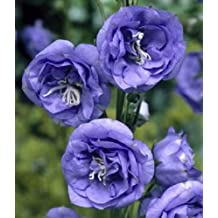 50+ Campanula Canterbury Double Blue Bells Flower Seeds /Perennial