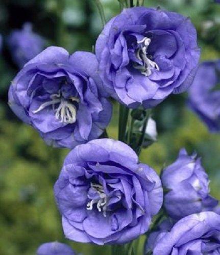 Amazon 50 campanula canterbury double blue bells flower seeds 50 campanula canterbury double blue bells flower seeds perennial mightylinksfo