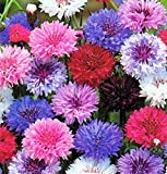 "Non GMO Bulk Cornflower/Bachelor Button Seeds -""Tall Mix"" Centaurea cyanus (1 lb) 90,000 Seeds"