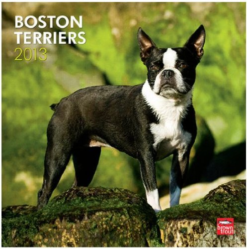 (12x12) Boston Terriers - 2013 Wall ()