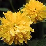 Pleniflora Japanese kerria double yellow flowering shrub Japanese Rose Liv Plant