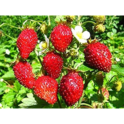 Rare Strawberries Seeds Organic Berries Seed Ryugen Early : Garden & Outdoor