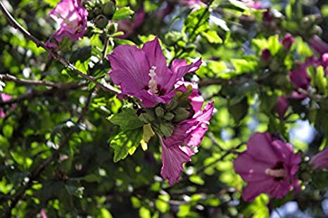 Amazoncom Althea Or Rose Of Sharon Hibiscus Syriacus Live Bare