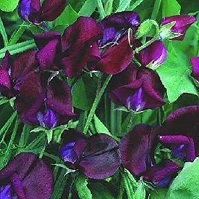 30+ Lathyrus Black Knight Sweet Pea/Most Fragrant/Annual Flower Seeds : Garden & Outdoor